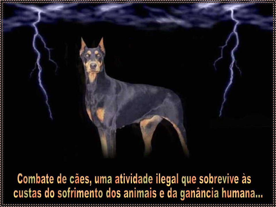 Combate de cães, uma atividade ilegal que sobrevive às