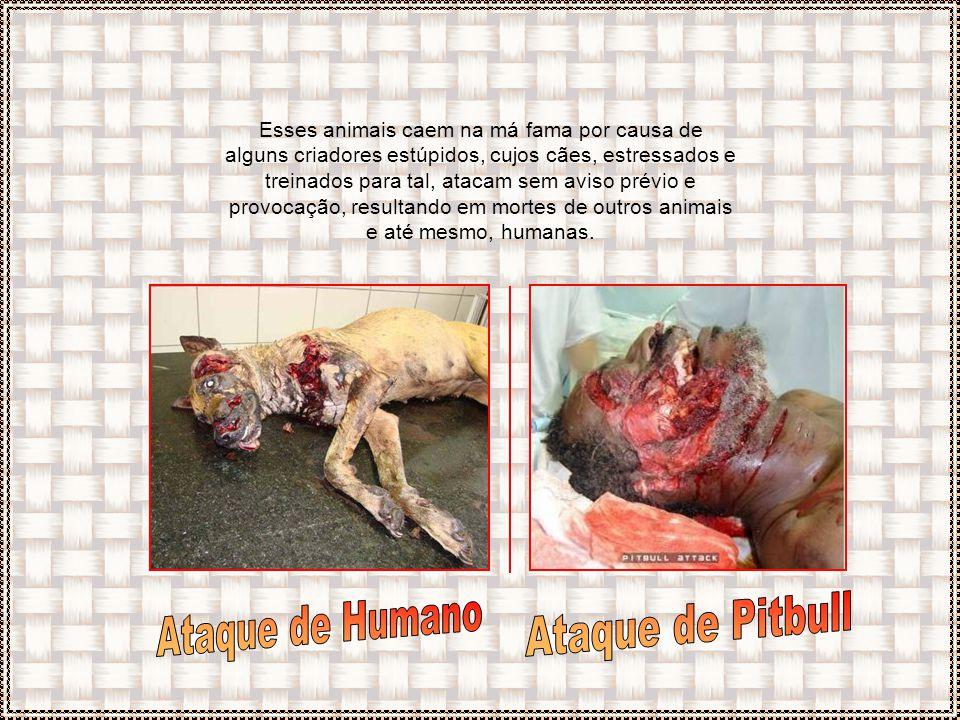 Ataque de Humano Ataque de Pitbull
