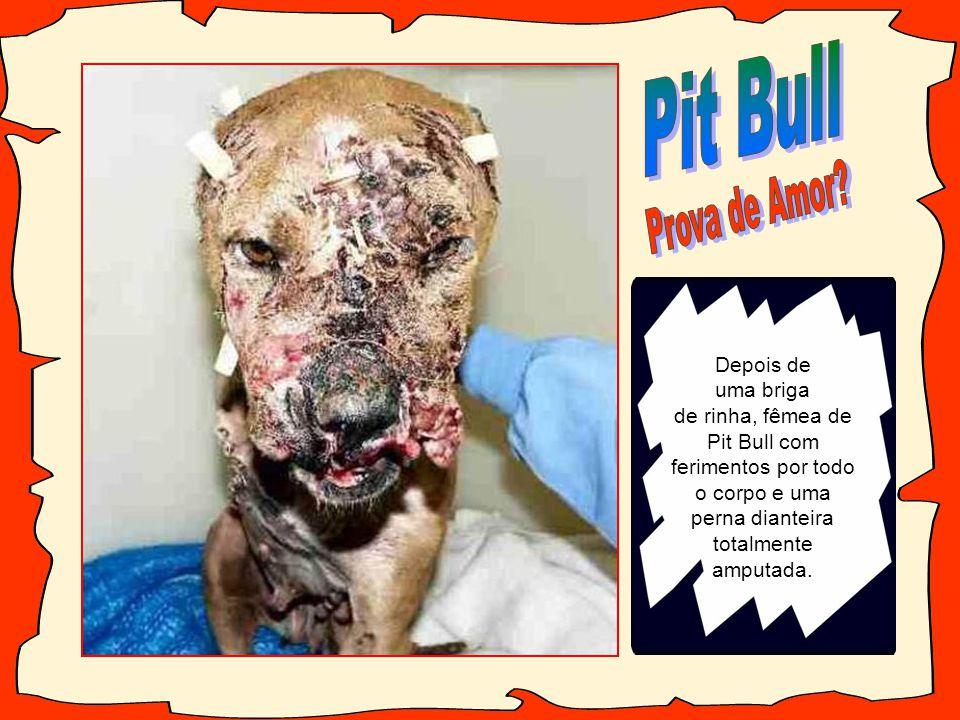 Pit Bull Prova de Amor Depois de uma briga