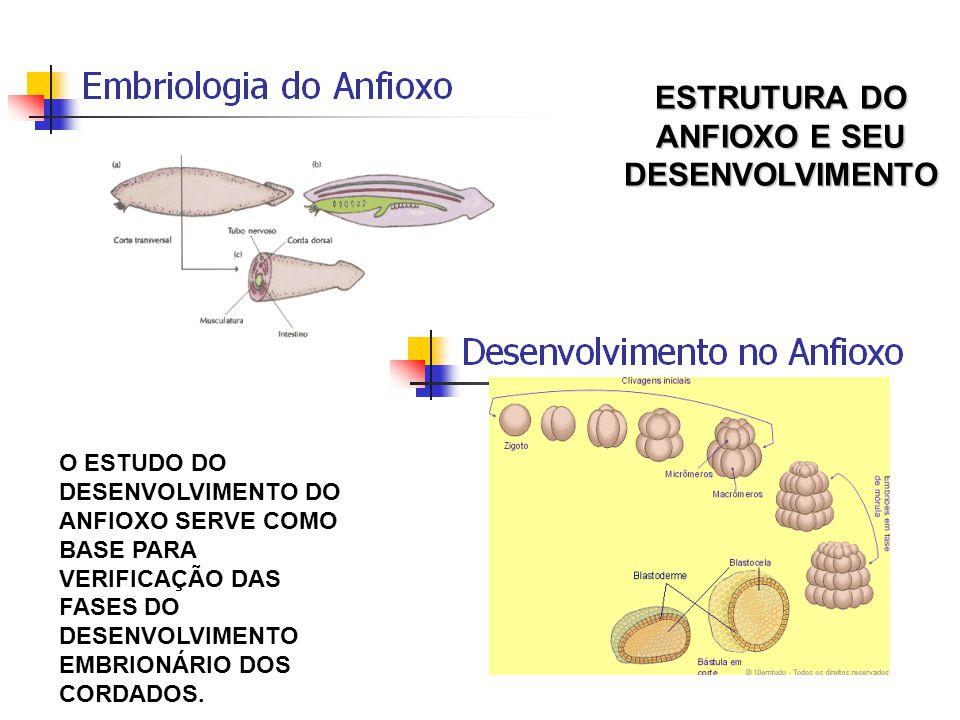ESTRUTURA DO ANFIOXO E SEU DESENVOLVIMENTO