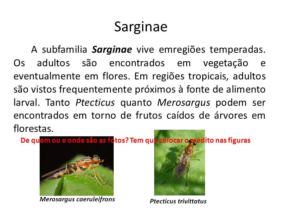 Sarginae