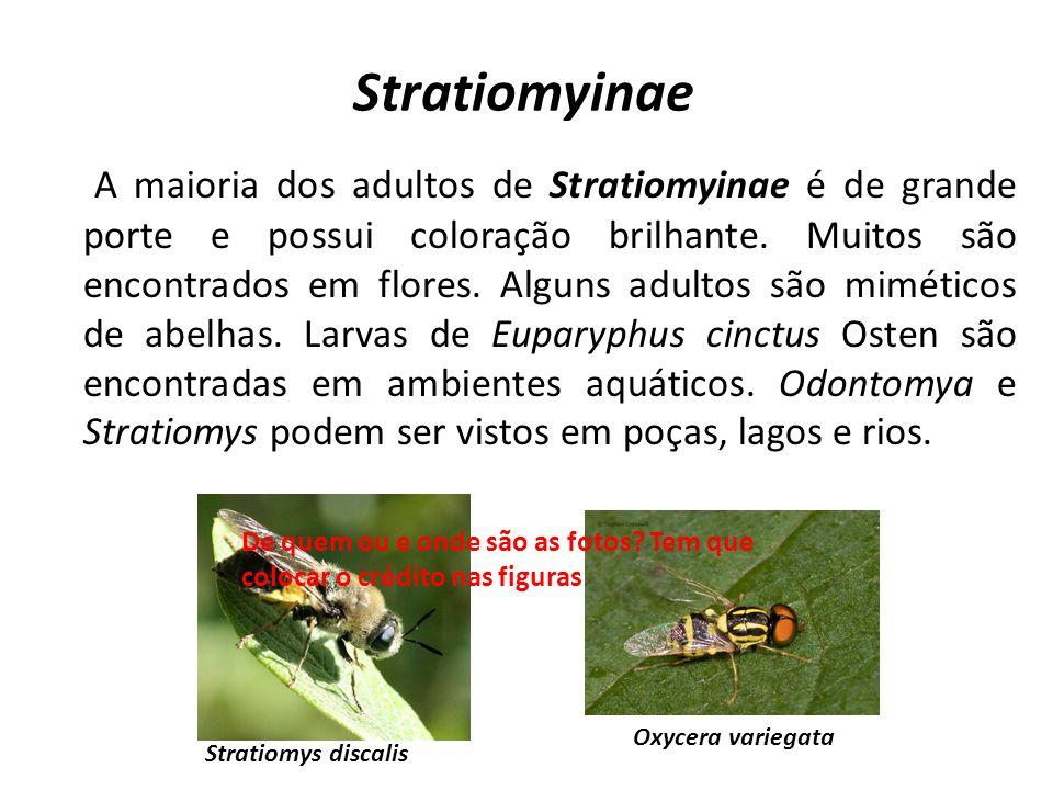 Stratiomyinae