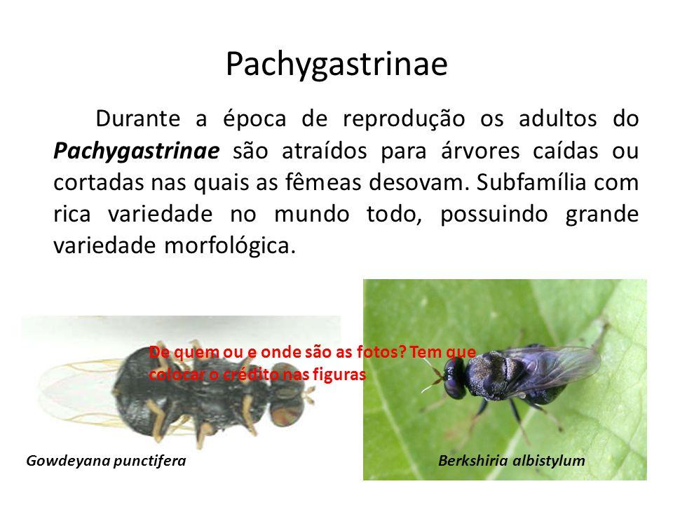Pachygastrinae