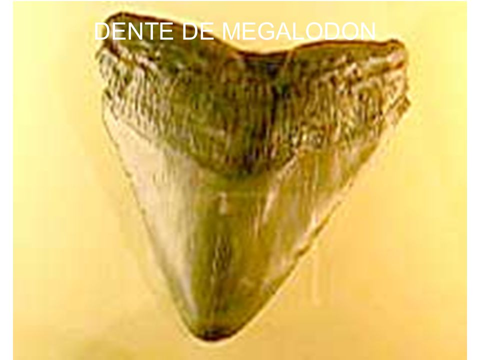 DENTE DE MEGALODON