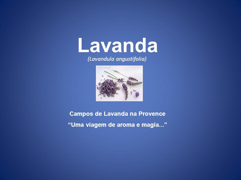 Campos de Lavanda na Provence Uma viagem de aroma e magia...