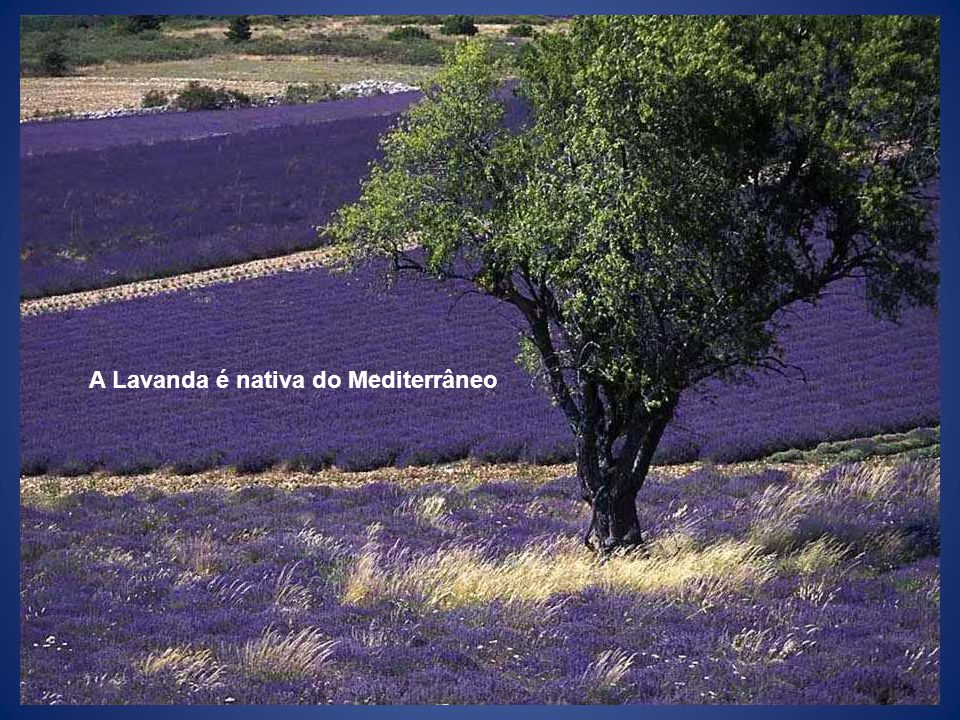 A Lavanda é nativa do Mediterrâneo