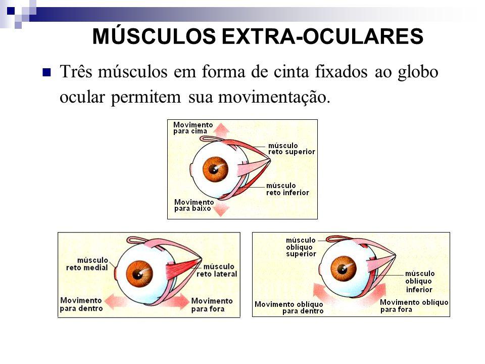 MÚSCULOS EXTRA-OCULARES