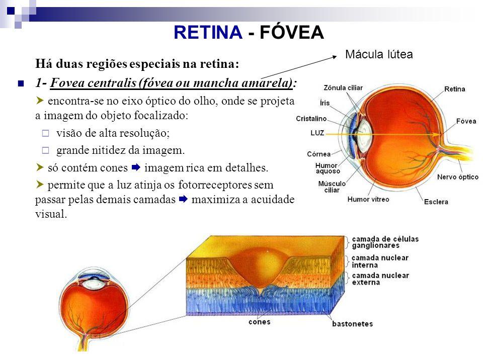 RETINA - FÓVEA Há duas regiões especiais na retina: