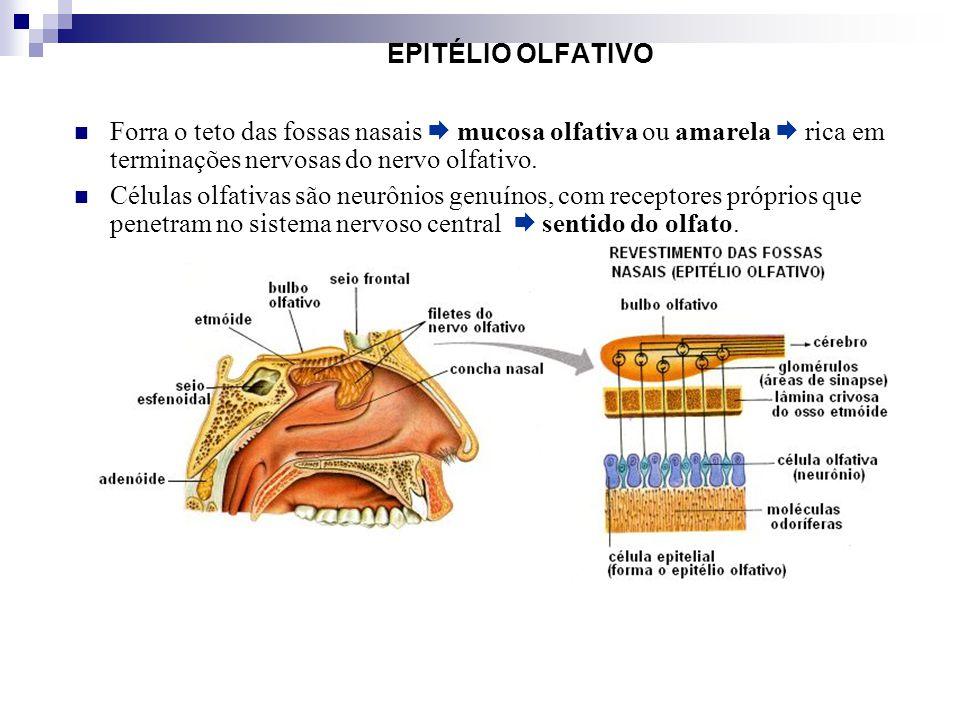 EPITÉLIO OLFATIVO Forra o teto das fossas nasais  mucosa olfativa ou amarela  rica em terminações nervosas do nervo olfativo.