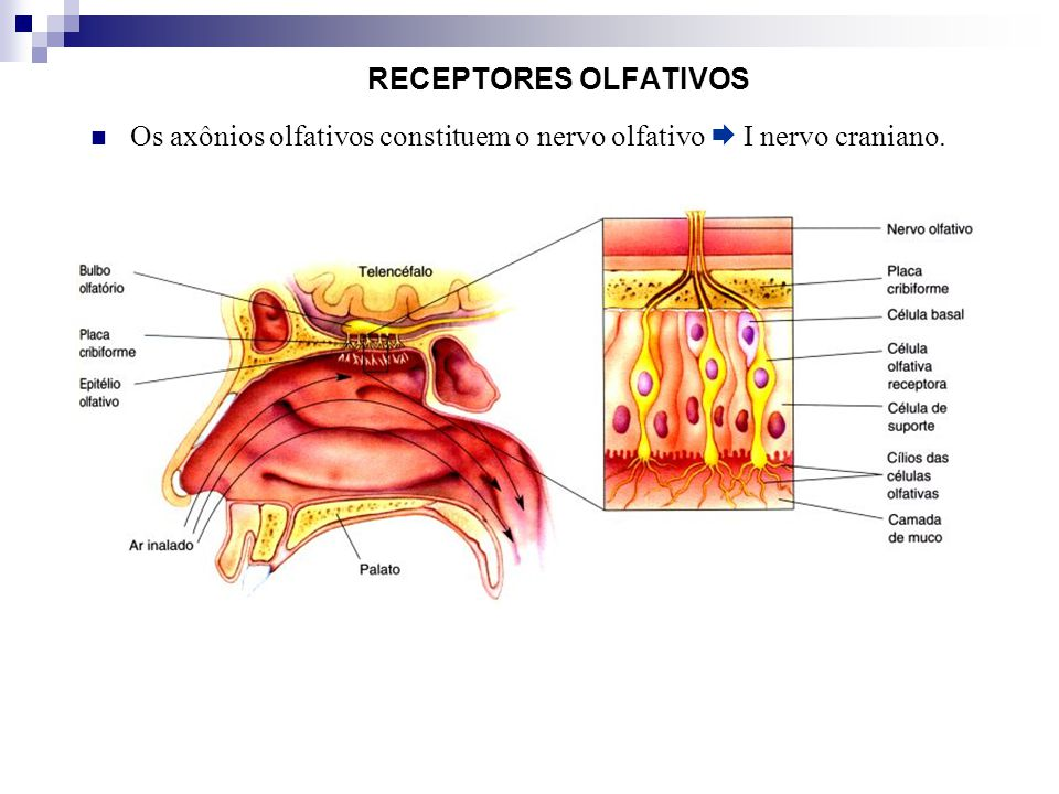 Os axônios olfativos constituem o nervo olfativo  I nervo craniano.