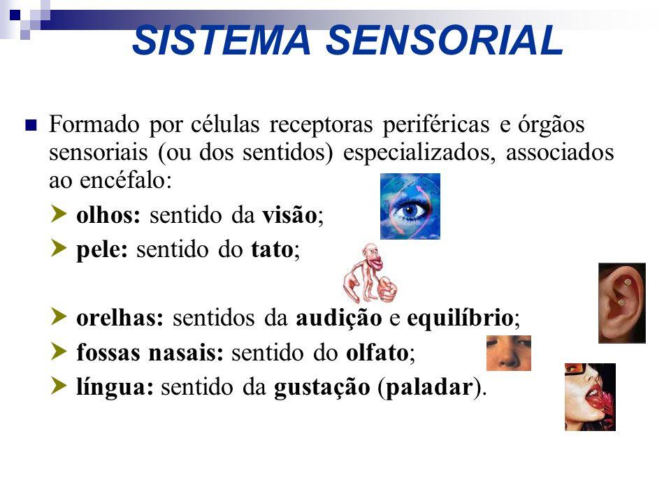SISTEMA SENSORIAL Formado por células receptoras periféricas e órgãos sensoriais (ou dos sentidos) especializados, associados ao encéfalo:
