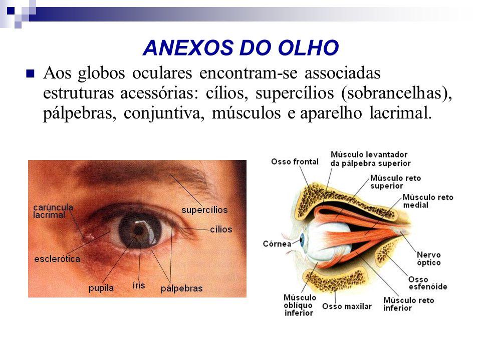 ANEXOS DO OLHO