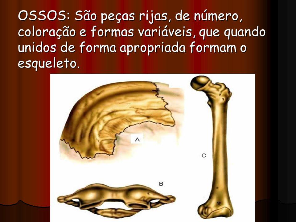 OSSOS: São peças rijas, de número, coloração e formas variáveis, que quando unidos de forma apropriada formam o esqueleto.