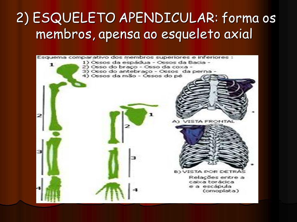 2) ESQUELETO APENDICULAR: forma os membros, apensa ao esqueleto axial