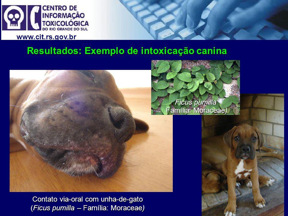 Contato via-oral com unha-de-gato (Ficus pumilla – Família: Moraceae)
