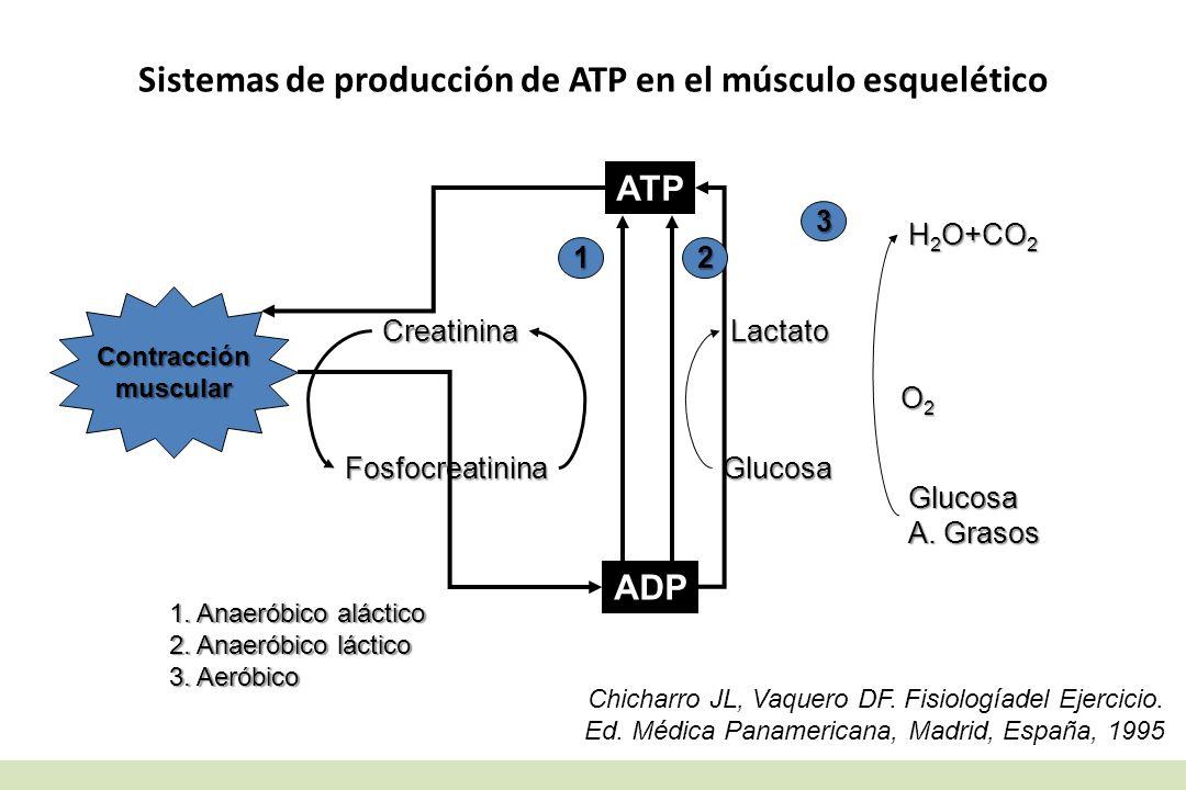 Sistemas de producción de ATP en el músculo esquelético