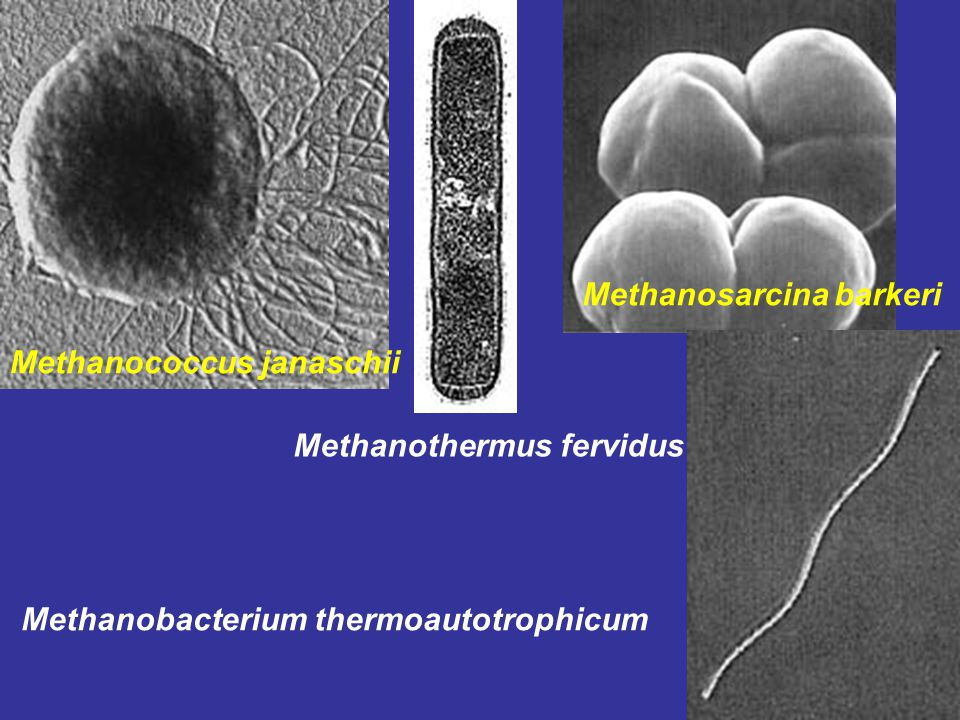 Methanosarcina barkeri
