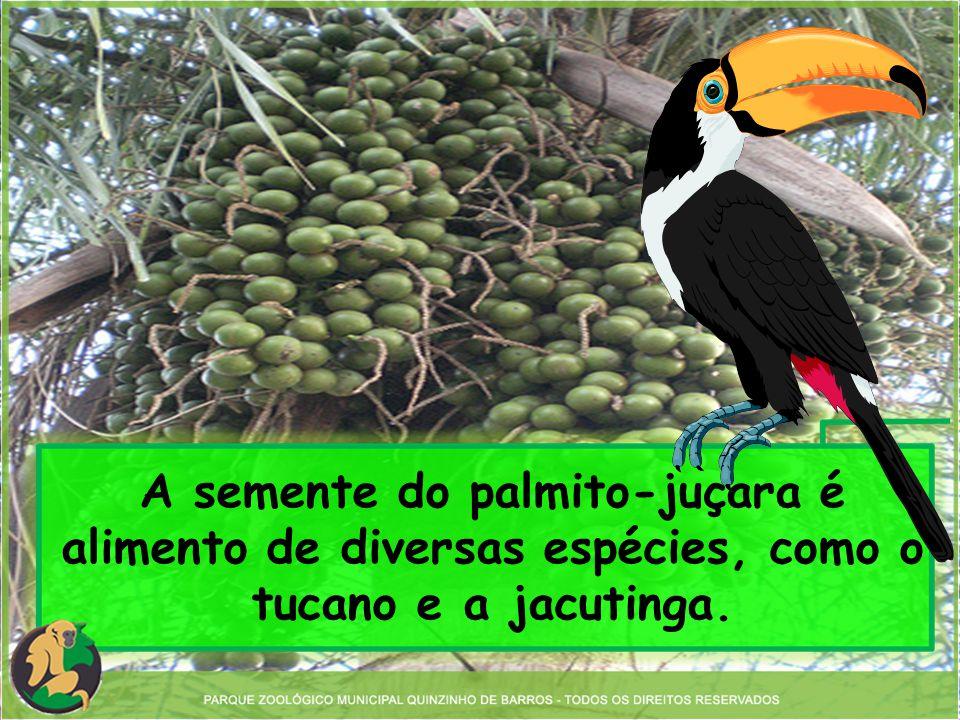 A semente do palmito-juçara é alimento de diversas espécies, como o tucano e a jacutinga.
