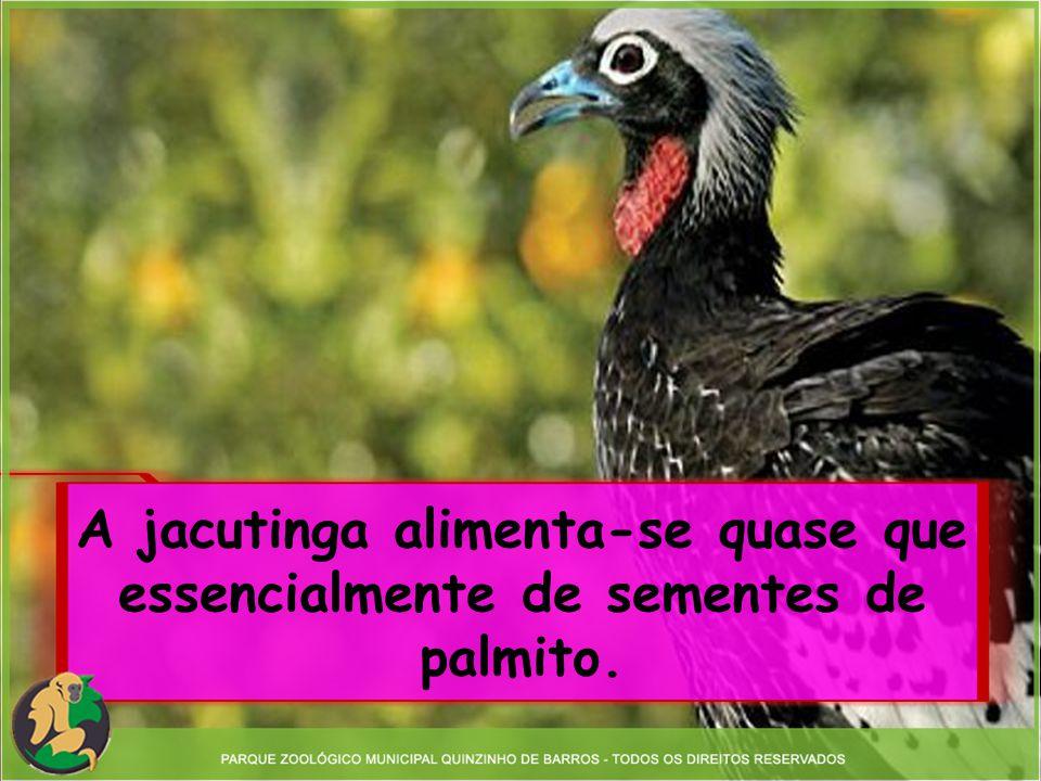 A jacutinga alimenta-se quase que essencialmente de sementes de palmito.