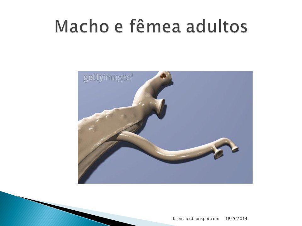 Macho e fêmea adultos lasneaux.blogspot.com 02/04/2017