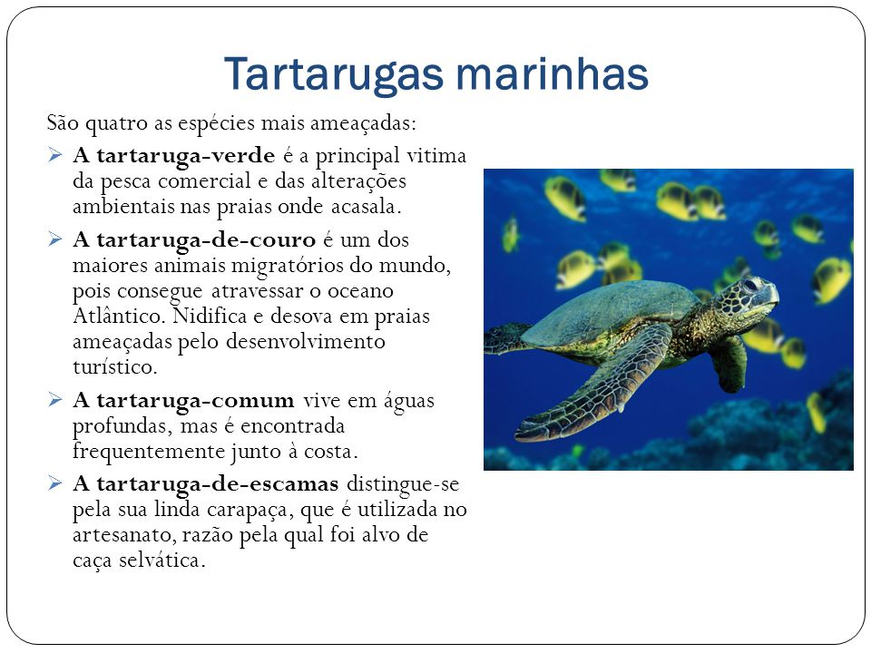 Tartarugas marinhas São quatro as espécies mais ameaçadas: