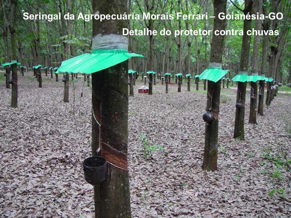 Seringal da Agropecuária Morais Ferrari – Goianésia-GO