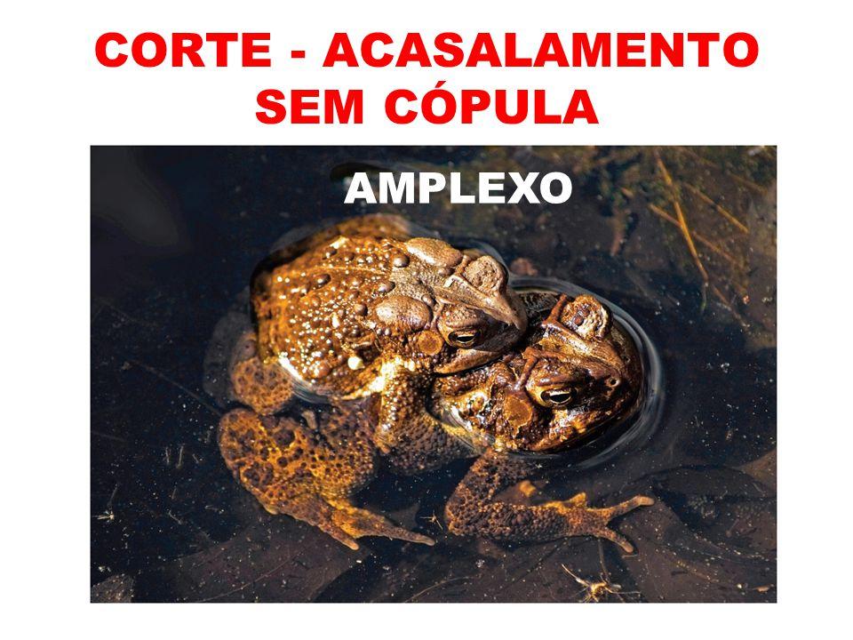 CORTE - ACASALAMENTO SEM CÓPULA