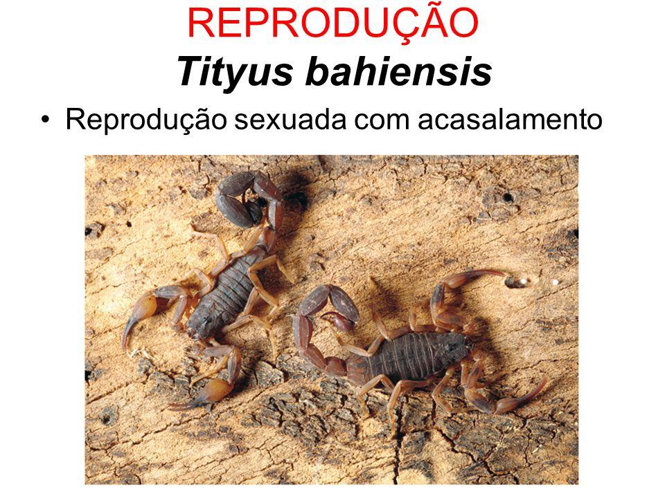REPRODUÇÃO Tityus bahiensis