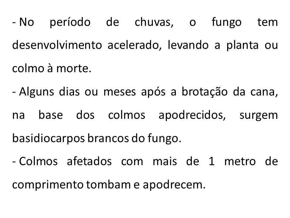 No período de chuvas, o fungo tem desenvolvimento acelerado, levando a planta ou colmo à morte.