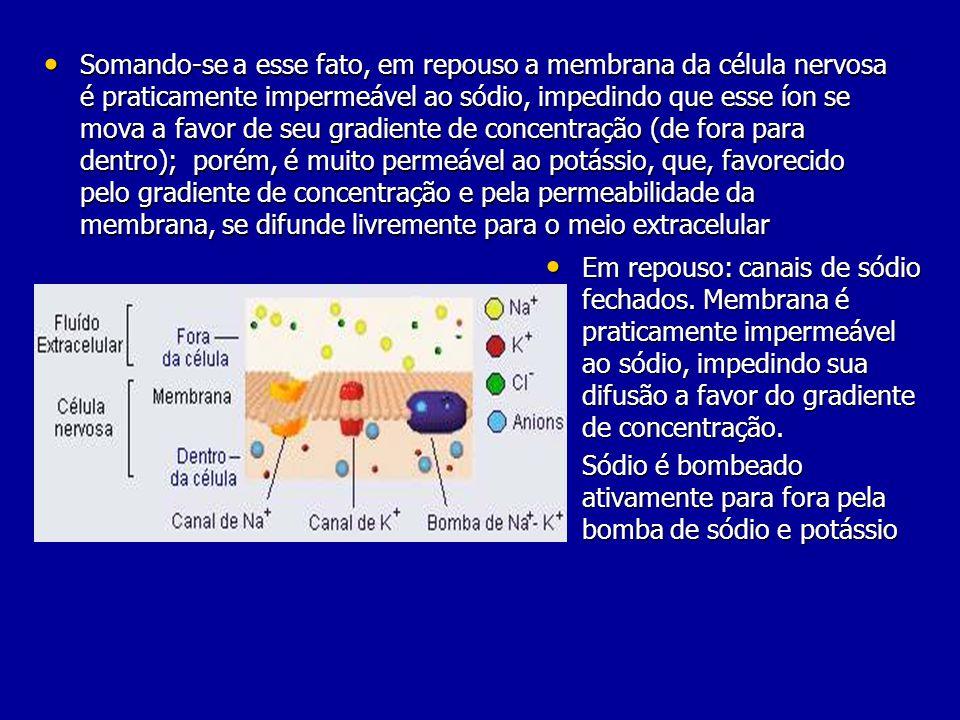 Somando-se a esse fato, em repouso a membrana da célula nervosa é praticamente impermeável ao sódio, impedindo que esse íon se mova a favor de seu gradiente de concentração (de fora para dentro); porém, é muito permeável ao potássio, que, favorecido pelo gradiente de concentração e pela permeabilidade da membrana, se difunde livremente para o meio extracelular