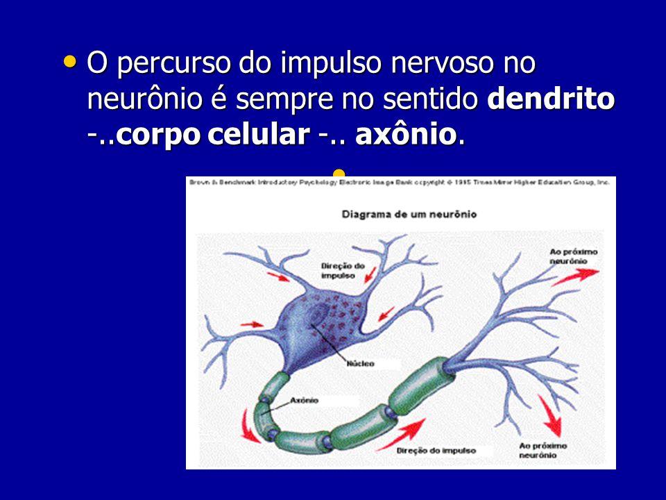 O percurso do impulso nervoso no neurônio é sempre no sentido dendrito -..corpo celular -.. axônio.
