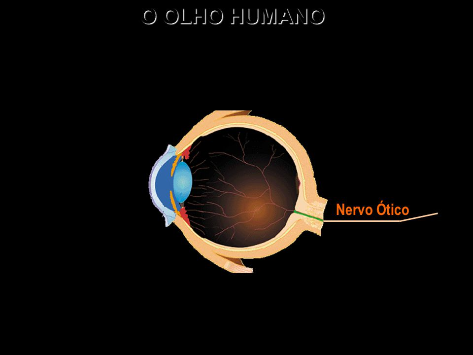 O OLHO HUMANO Nervo Ótico