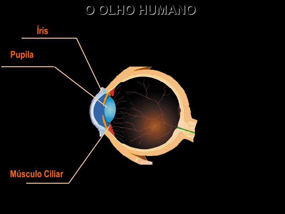 O OLHO HUMANO Íris Pupila Músculo Ciliar