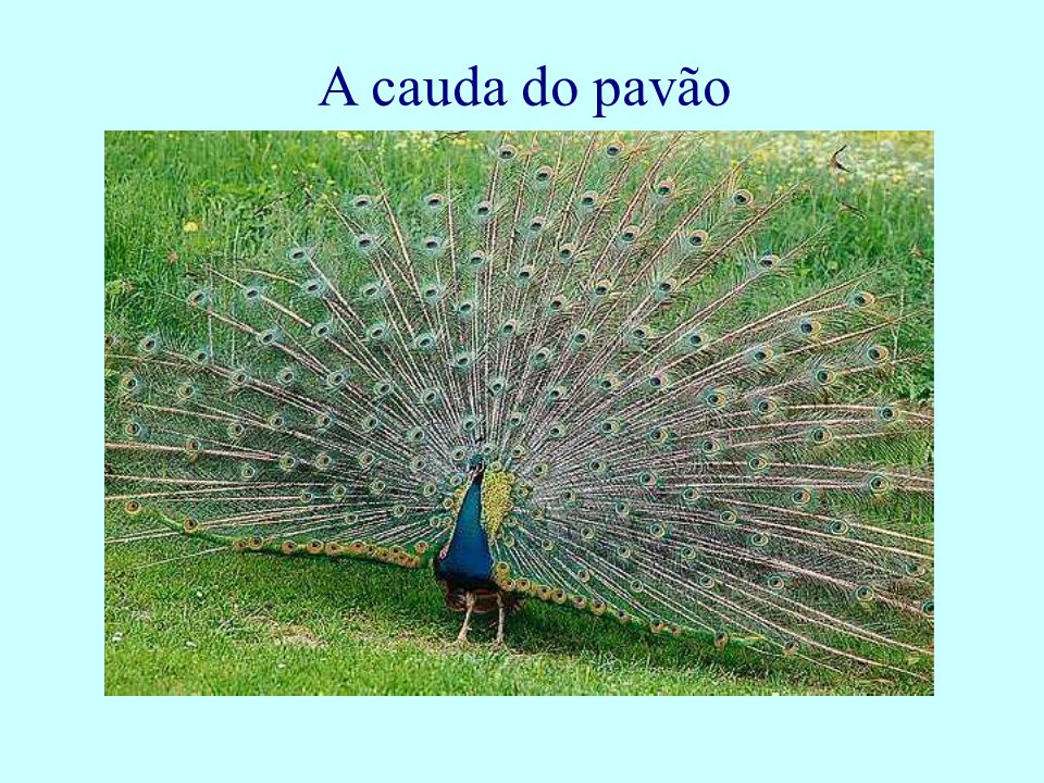 A cauda do pavão
