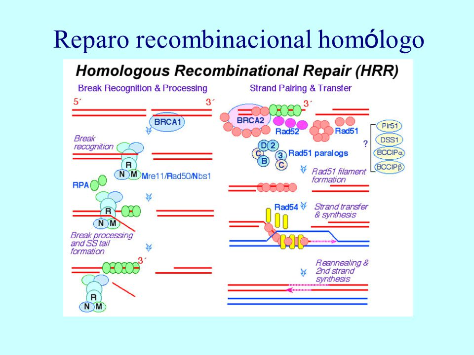 Reparo recombinacional homólogo