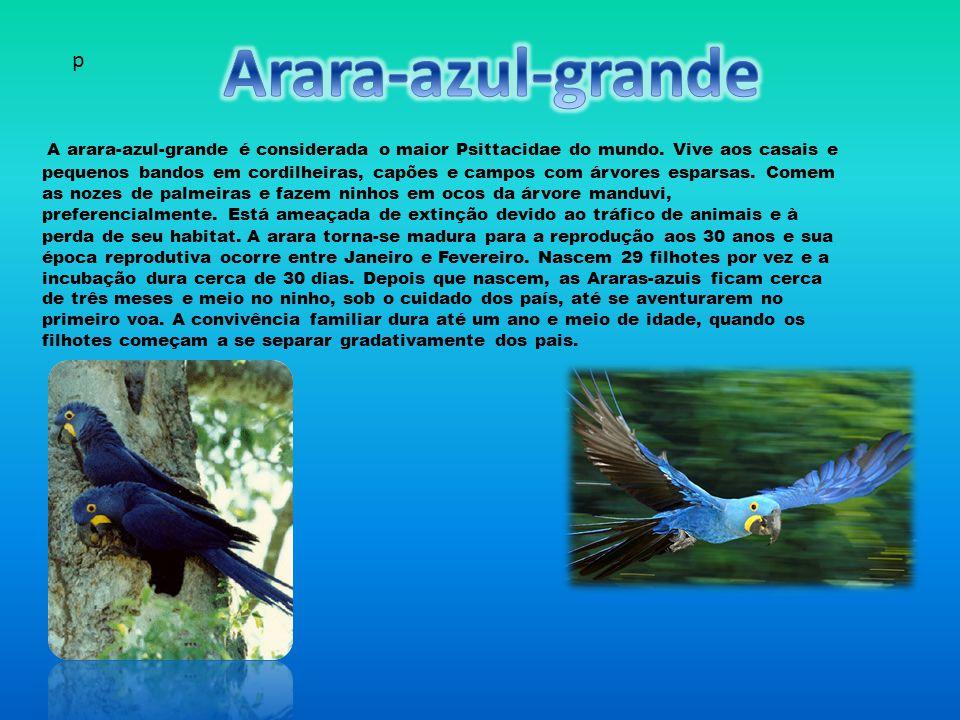 Arara-azul-grande p.