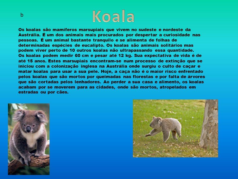 Koala b.