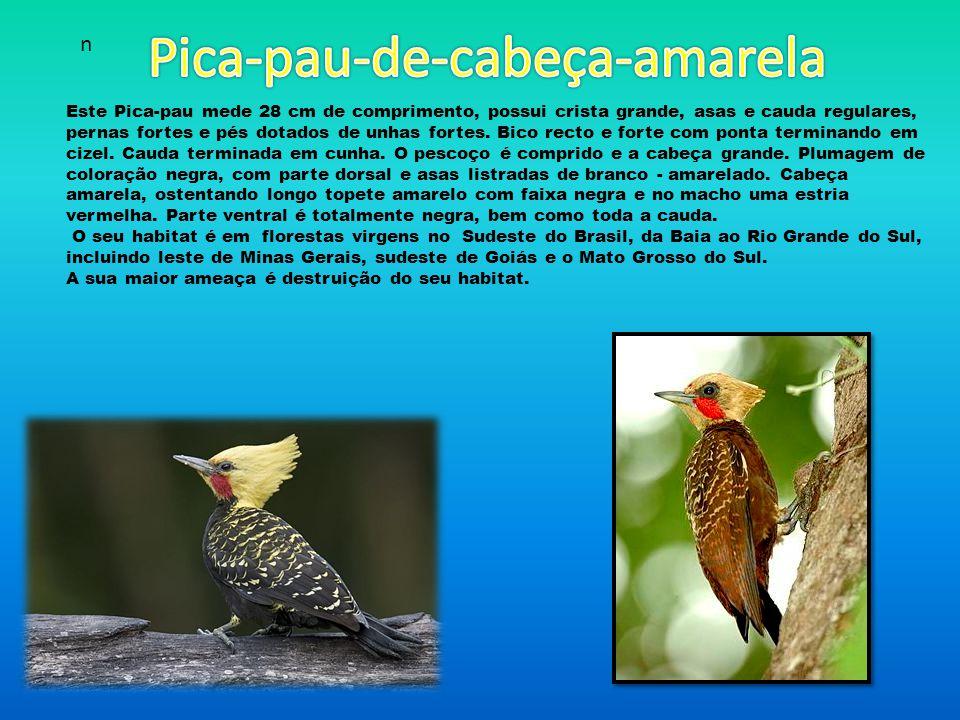 Pica-pau-de-cabeça-amarela