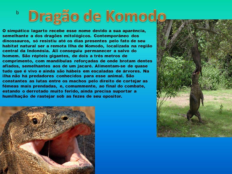 Dragão de Komodo b.