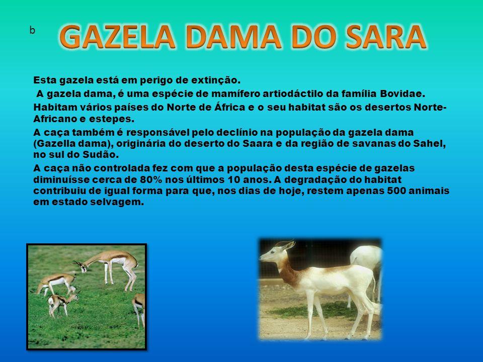 GAZELA DAMA DO SARA b Esta gazela está em perigo de extinção.
