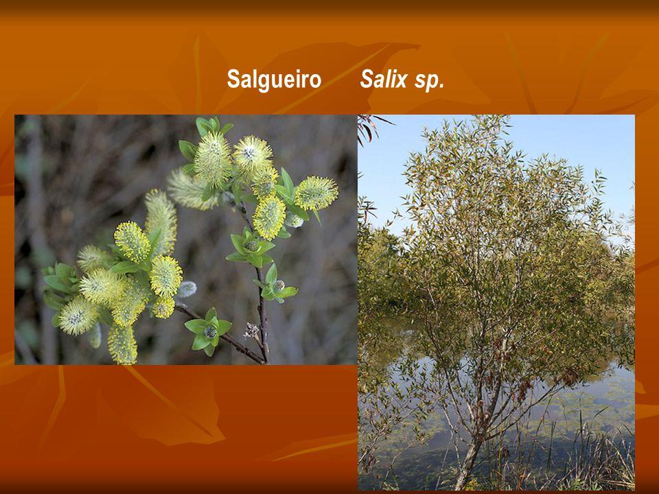 Salgueiro Salix sp.