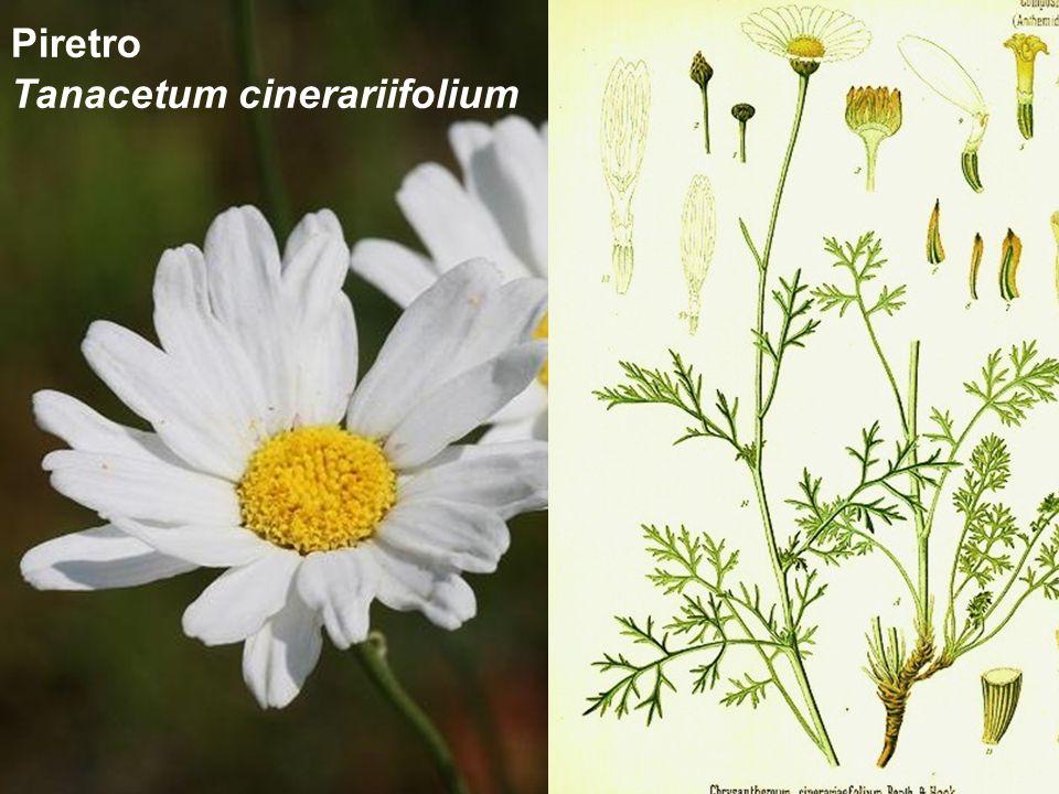 Piretro Tanacetum cinerariifolium
