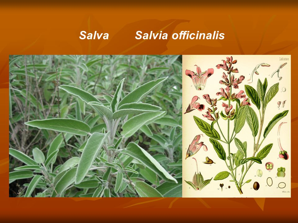 Salva Salvia officinalis