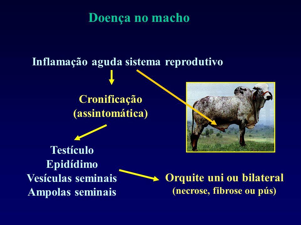 Doença no macho Inflamação aguda sistema reprodutivo Cronificação
