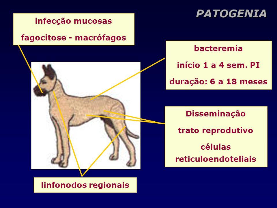fagocitose - macrófagos células reticuloendoteliais