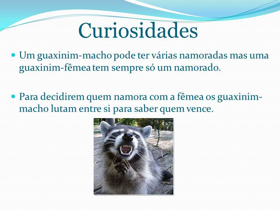 Curiosidades Um guaxinim-macho pode ter várias namoradas mas uma guaxinim-fêmea tem sempre só um namorado.