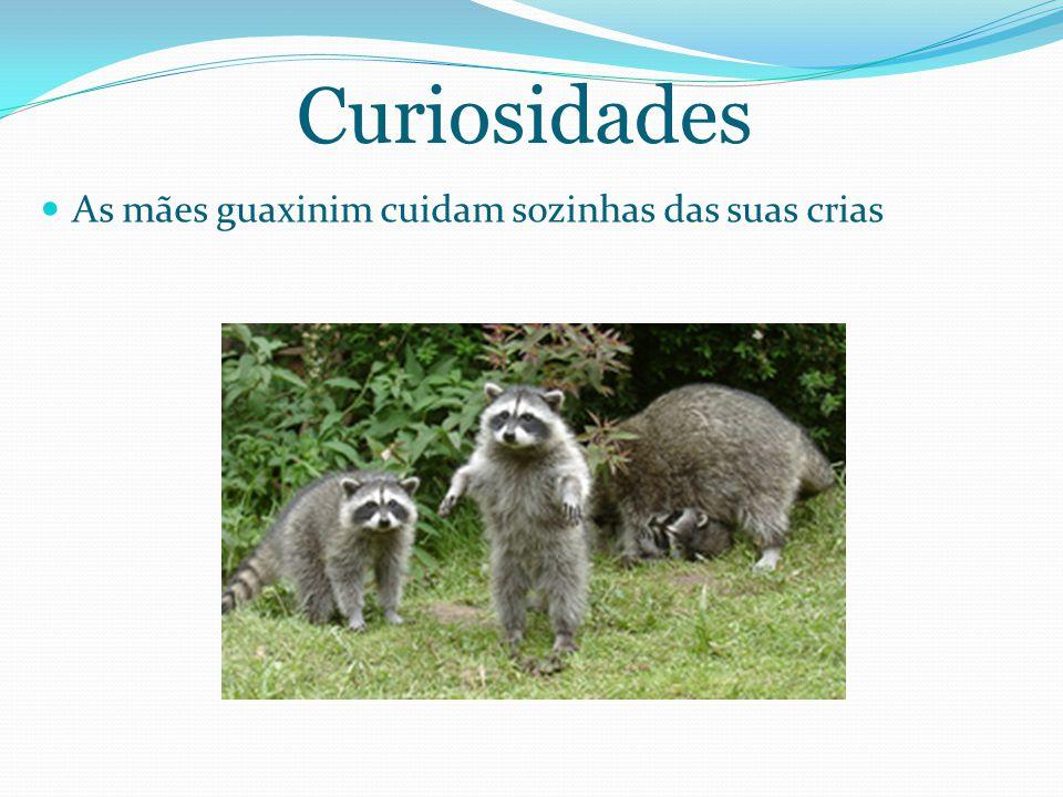 Curiosidades As mães guaxinim cuidam sozinhas das suas crias