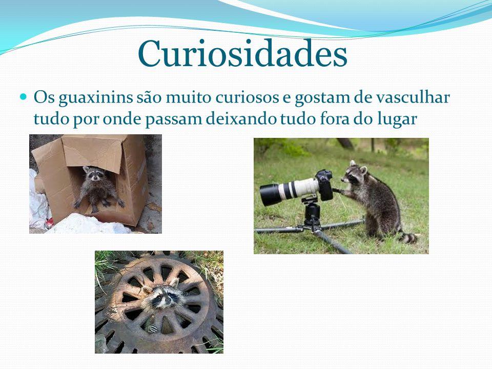 Curiosidades Os guaxinins são muito curiosos e gostam de vasculhar tudo por onde passam deixando tudo fora do lugar.