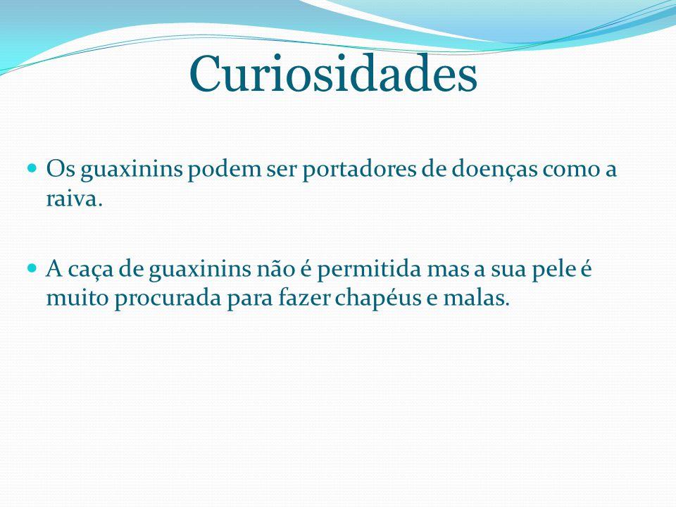 Curiosidades Os guaxinins podem ser portadores de doenças como a raiva.