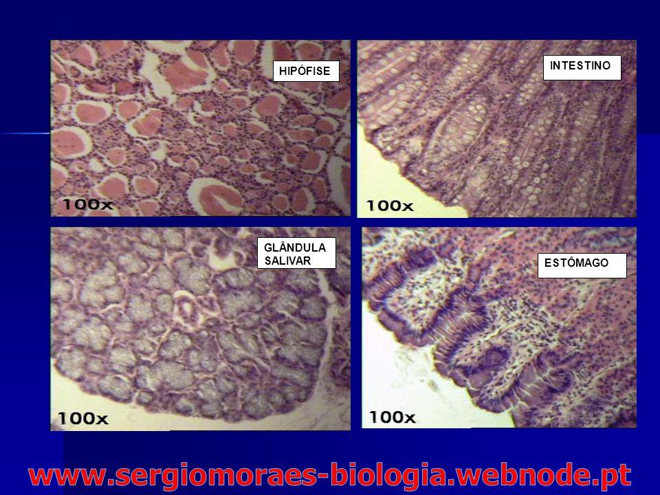www.sergiomoraes-biologia.webnode.pt INTESTINO HIPÓFISE